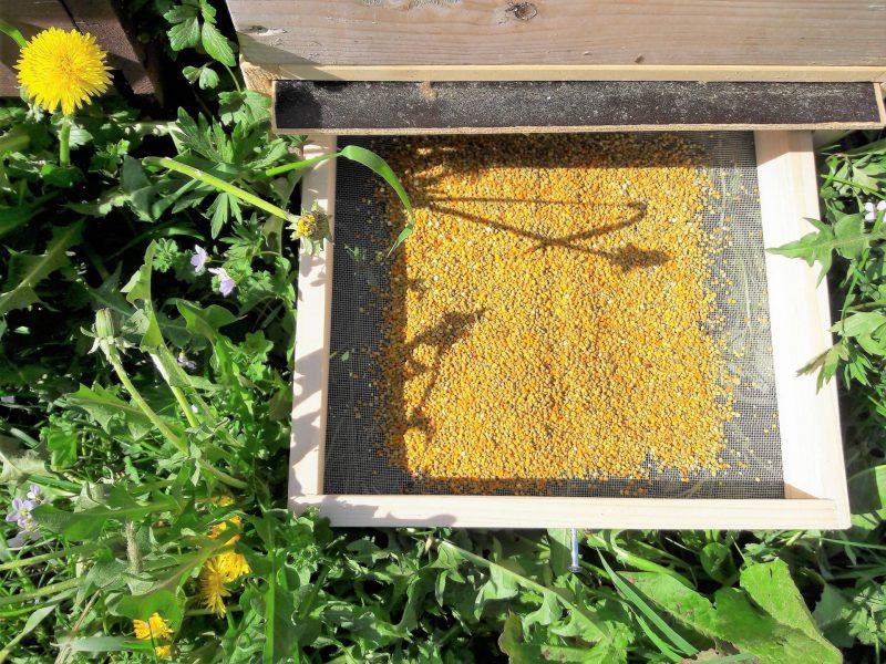 Wissen zu Bienen Honig - Blütenpollen in Sonnenlicht